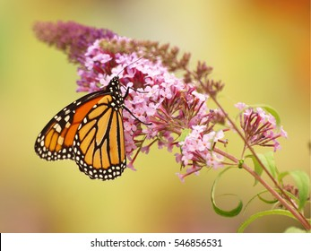 Monarch butterfly visiting flowers