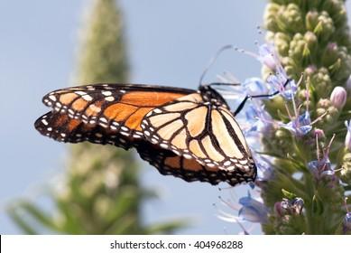 Monarch butterfly (wings)