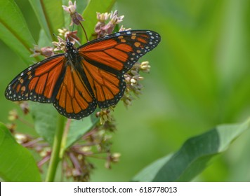 Monarch butterfly with wings spread on a flower