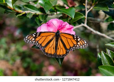 Monarch Butterfly With Wings Stretched Out on Camellia Blossom in Louisiana Winter