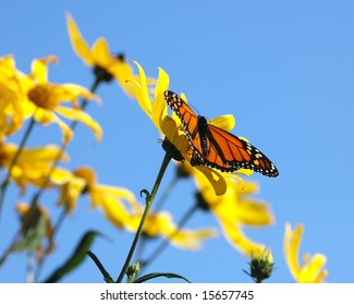 Monarch butterfly in yellow flowers and blue sky.