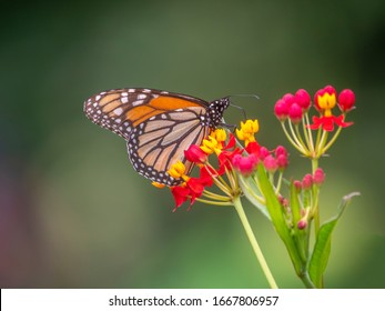 monarch butterfly,Danaus plexippus) is a milkweed butterfly  in the family Nymphalidae.