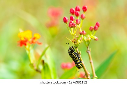 Monarch caterpillar crawling up and eating a milkweed plant flower - landscape photo from Honolulu Hawaii