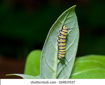 Monarch caterpillar is crawling on a milkweed leaf, showing his yellow, white and black stripes.
