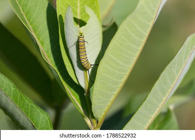 Monarch caterpillar eating a common milkweed leaf.