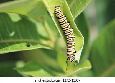 Monarch caterpillar feeding on a milkweed leaf