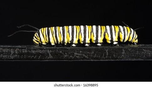Monarch Caterpillar on black wood on black background