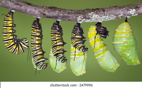 A monarch caterpillar is shown in various stages of shedding until the skin falls away and a chrysalis begins to take shape.