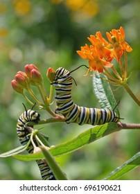 Monarch Caterpillars Feed on Milkweed
