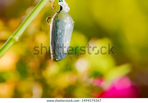 Monarch chrysalis macro shot - butterfly visible