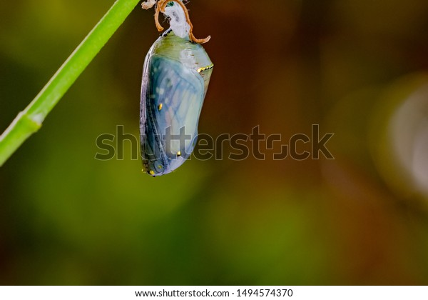 Monarch chrysalis macro shot - butterfly visible