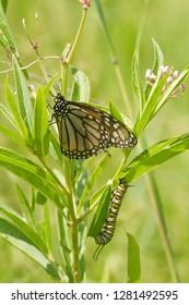 Monarch (Danaus plexippus) butterfly and caterpillar larva on host plant Swamp Milkweed (Asclepias incarnata), Marion, Illinois, USA.