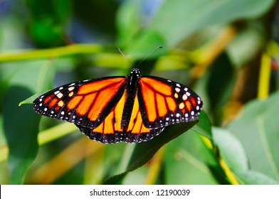 Monarch, Danaus plexippus butterfly on a plant
