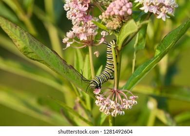 Monarch (Danaus plexippus) caterpillar on Swamp Milkweed (Asclepias incarnata). Marion, Illinois, USA.