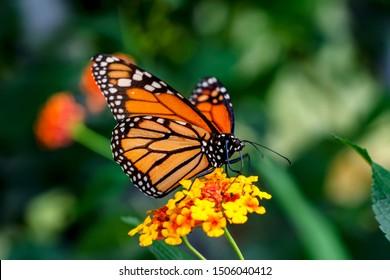 Monarch, Danaus plexippus is a milkweed butterfly (subfamily Danainae) in the family Nymphalidae