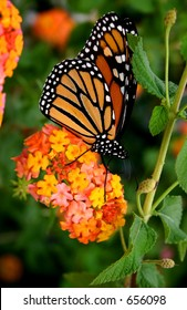 Monarch on blossom