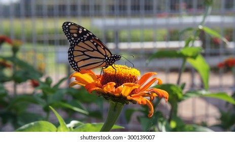 Monarch on the Crown