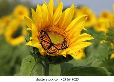 Monarch on a sunflower