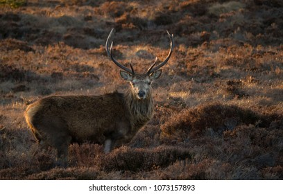 Monarch of the spring glen...A Red Deer stag enjoys the sunny weather amid a glen of heather in the Scottish Highlands of Easter Ross, Scotland, UK