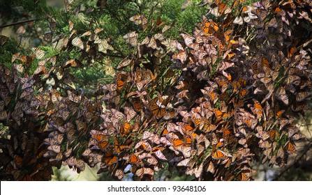 Monarchs butterflies during their migration