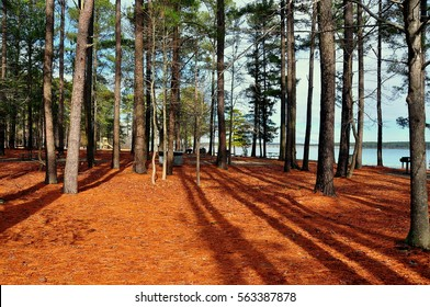 Moncure, North Carolina - January 23, 2017:  Dried pine tree needles cover the ground beneath a forest of conifers next to Seaforth Beach at Jordan Lake State Park