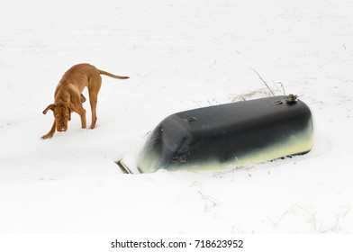 Monday morning walkout in Willingen. Magyar Vizsla playing in snow. Next to him is a turned tub.