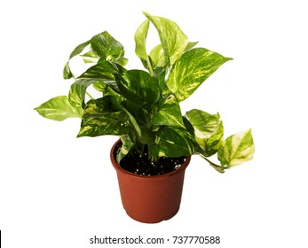 Money Plant with white background