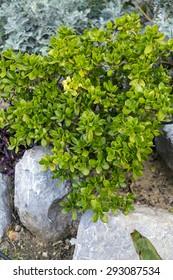 Money tree jade tree, member of succulent family