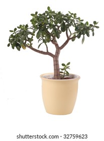 Money tree for luck in pot