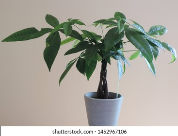 A Money Tree Plant with Ornate Braided Trunk in a white pot on a white background