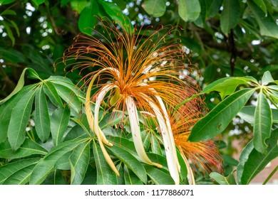 Money tree plant (Pachira aquatica) flower closeup - Davie, Florida, USA