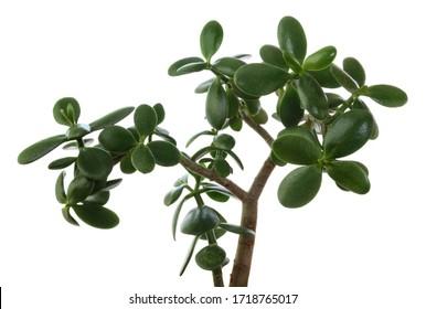 Money tree or succulent jade plant (Crassula ovata) with green leaf isolated on white background.