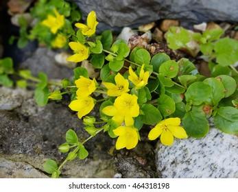 Moneywort, Lysimachia nummularia, Goldilocks