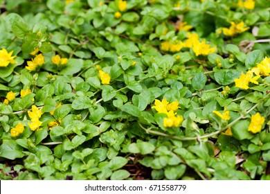 Moneywort, Lysimachia nummularia, Goldilocks plants in the garden