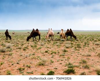Mongolia landscape with camel on the Gobi desert