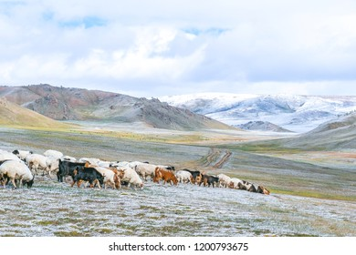Mongolia steppe landscape with flock of sheep and cow in cold winter day.