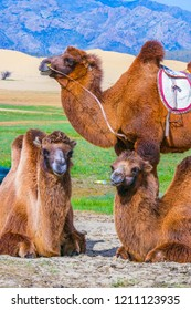 Mongolian camels are waiting for tourists.