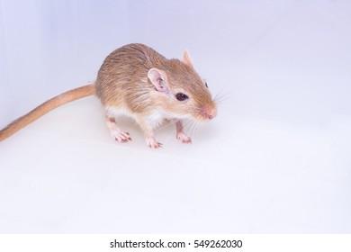 Mongolian gerbil, Desert Rat on white background
