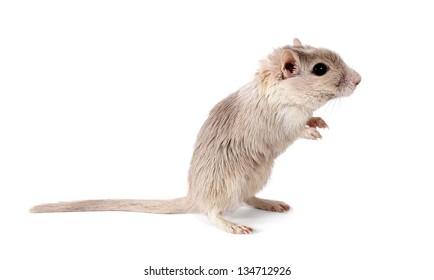 Mongolian gerbil rodent