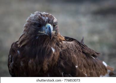 Mongolian Golden Eagle, close-up.
