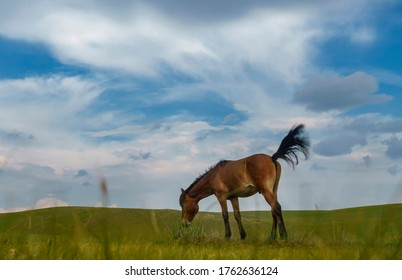 A Mongolian horse in pasture of Inner Mongolia