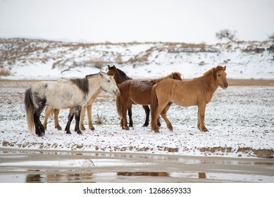 Mongolian horses to the riverside to drink water, in the winter pastures.