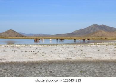 Mongolian landscape. Horses drink water in a lake.