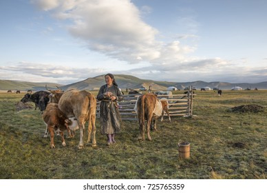 mongolian nomad woman milking a cow