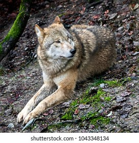 Mongolian wolf also known as tibetian wolf. Latin name - Canis lupus chanco