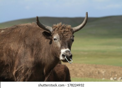 Mongolian Yak in the Steppe
