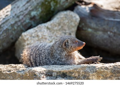 Mongoose animal in natural environment