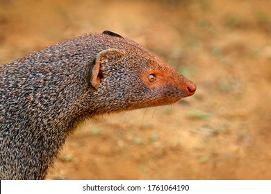 Mongoose, detail head portrait. Cute animal Ruddy mongoose, Herpestes smithii, species native to hill forests in India and Sri Lanka. Mammal behaviour. Wildlife scene from nature. Travelling Sri Lanka