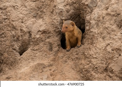 Mongoose emerging from it burrow taken in Tanzania.