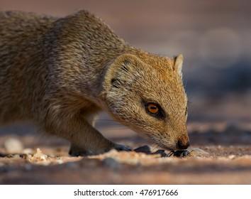 mongoose in the Kalahari